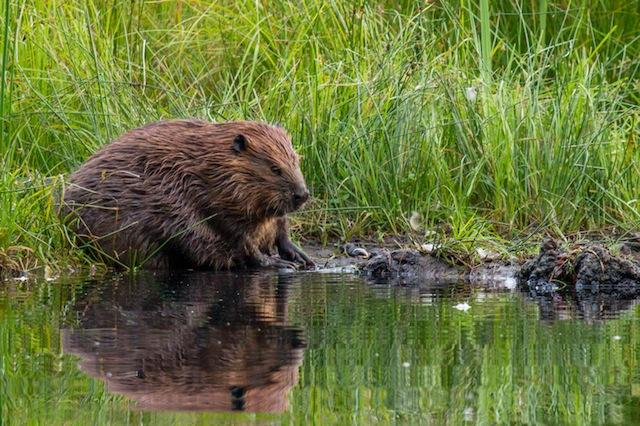 Mark White - Beaver at Beaver Lake