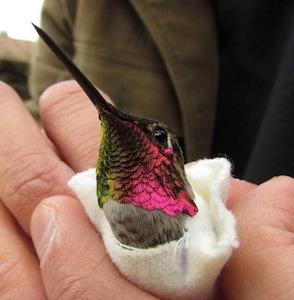 Annas_hummingbird_Robyn_Worcester