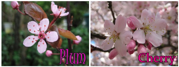 Things to Know About Cherry Blossoms in Vancouver ...