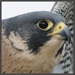 falcon-profile-passchier