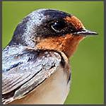 swallow-profile-passchier