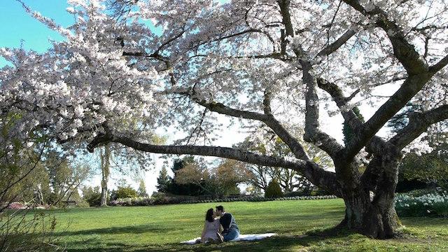 CherryBlossom-TreeInside