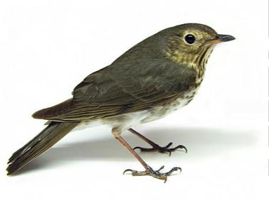 Thrush-Bird