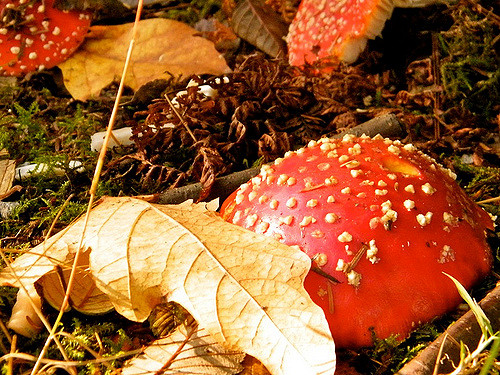 Amanita mushroom in Stanley Park